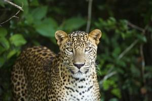SL_leopard_small