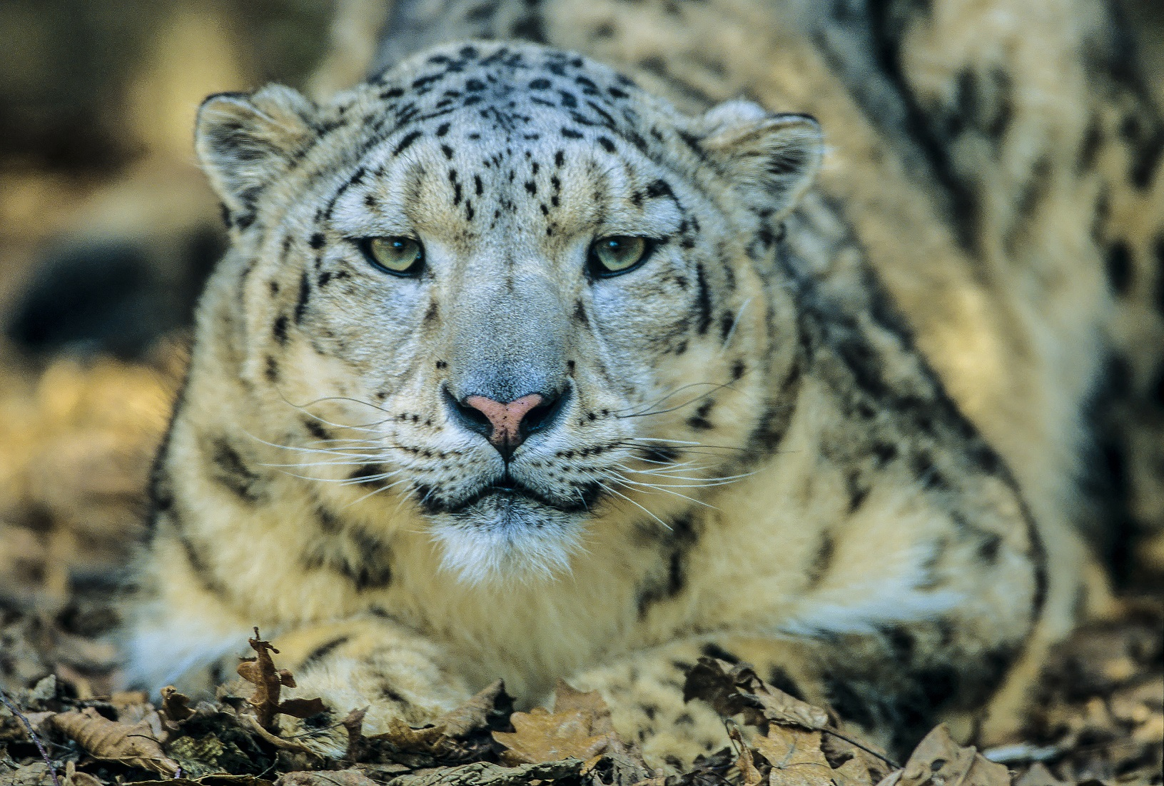 snow_leopard_00016845