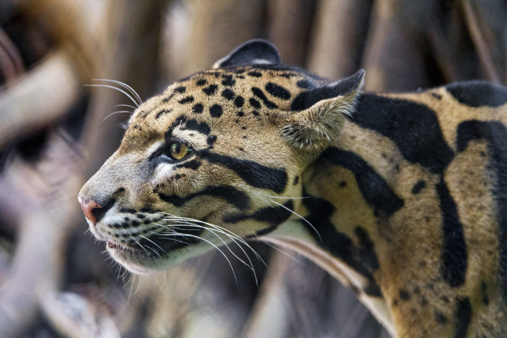 """leopard conservation Panthera's furs for life leopard project works with the nazareth baptist """"shembe"""" church – one of the largest and fastest-growing churches in southern africa – to replac."""