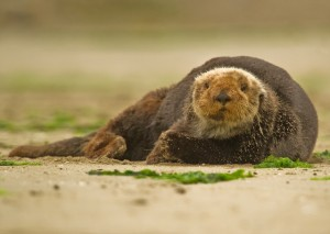 California_sea_otter_small
