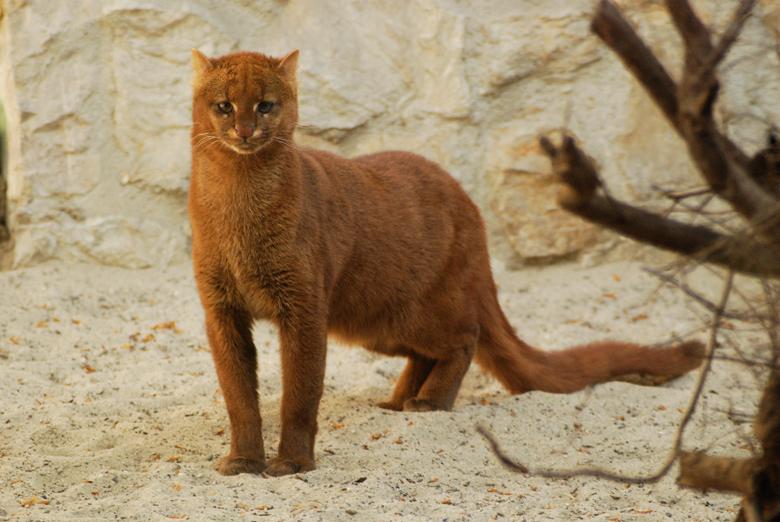 Jaguarundi-Captive-Poland-Zoo