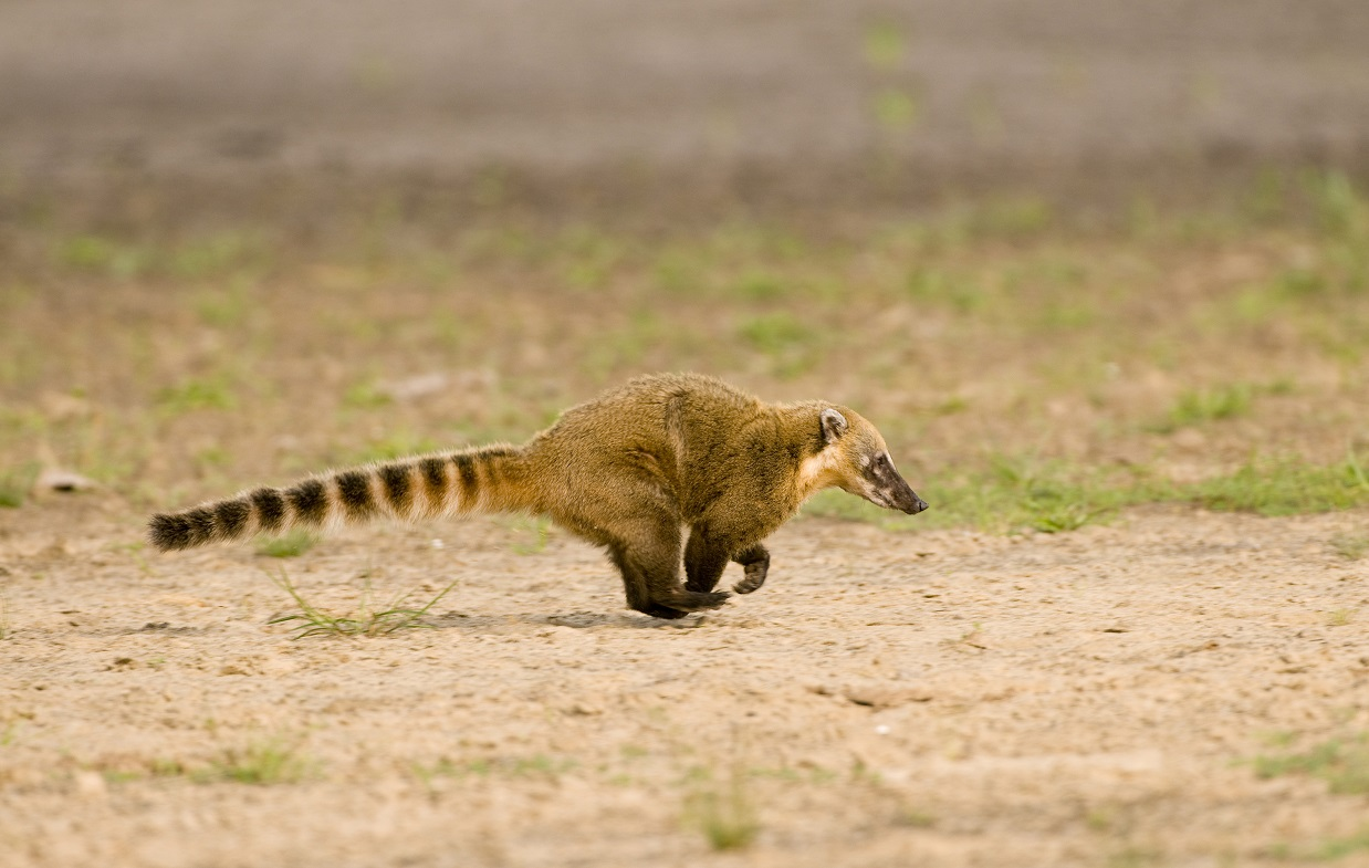 South_American_coati_small