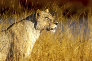 lioness_small
