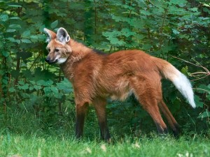 Maned wolf walking around in its habitat