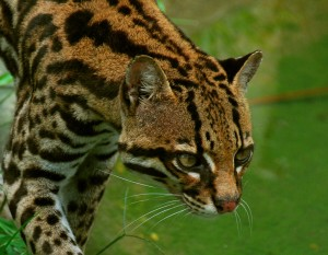 ocelot_on_prowl__00010785