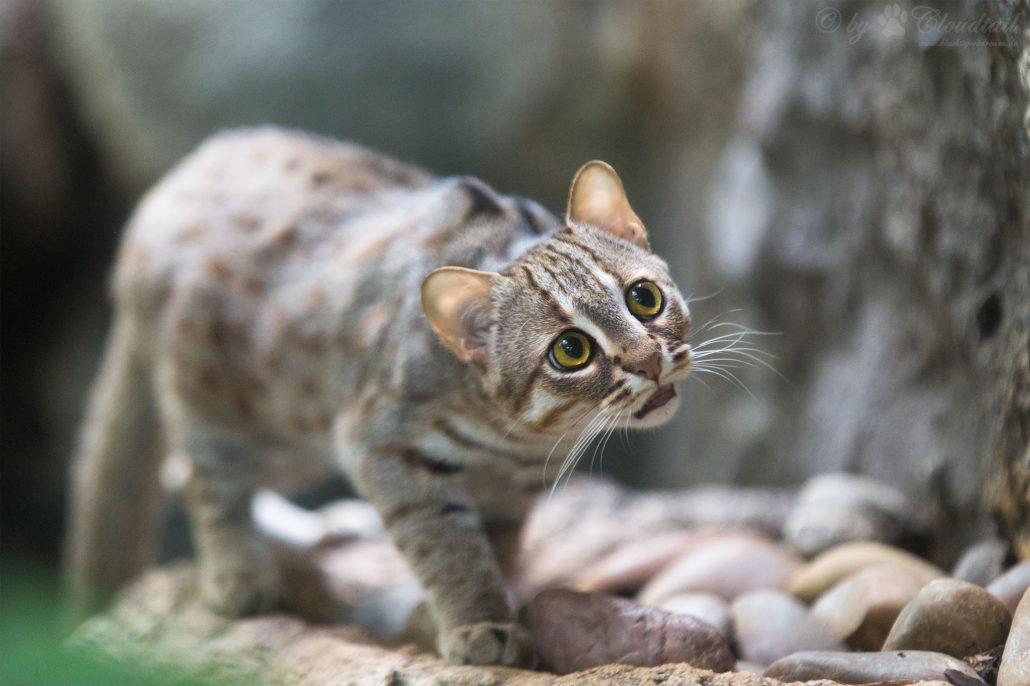 Rusty-spotted cat - S P E C I E S